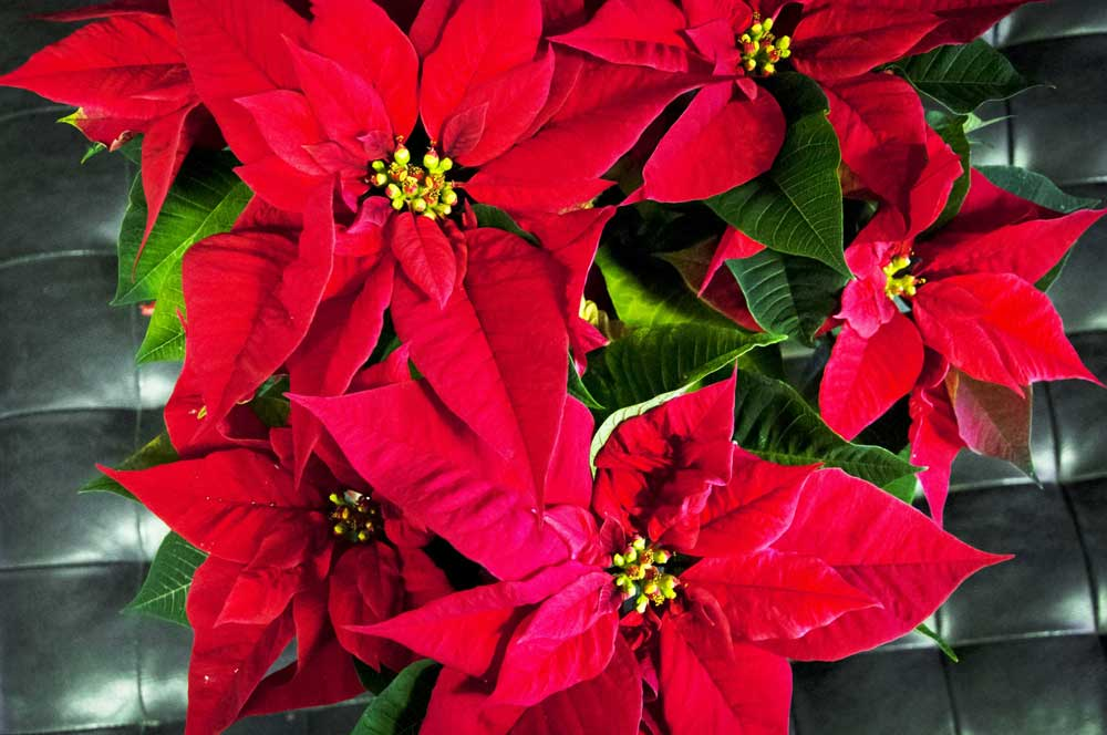 Organic Poinsettia Seeds