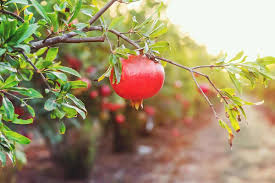 Organic Pomegranate Tree Seeds
