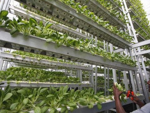Singapore first licensed indoor vegetable farm