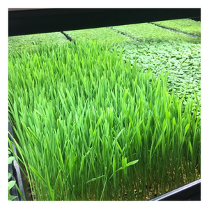 Microgreen - Wheat Grass - Fresh Village Farms
