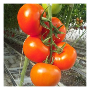 Organic Tomatoes On The Vine 1lb - Fresh Village Farms
