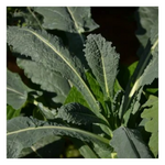 Dinosaur Black Kale | 0.5 lb - Fresh Village Farms
