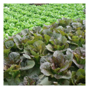 Organic Red Romaine Lettuce | Per Head - Fresh Village Farms