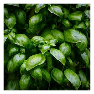 Load image into Gallery viewer, Organic Basil | Heirloom Basil | 1/2 Lb - Fresh Village Farms