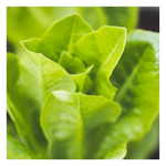 Organic Romaine Lettuce | Per Head - Fresh Village Farms