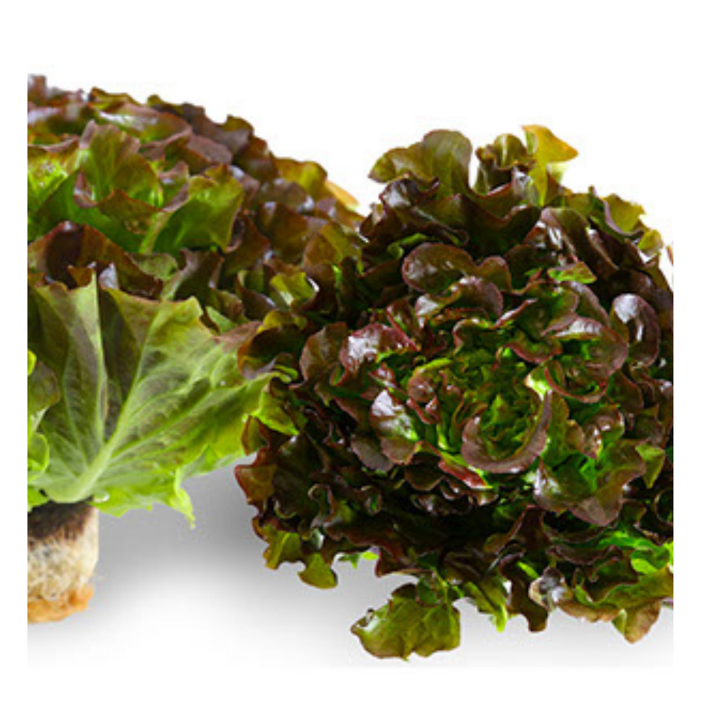 Fresh Red Batavia Lettuce - 1 head - Fresh Village Farms
