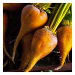 Organic Gold Beets - Fresh Village Farms