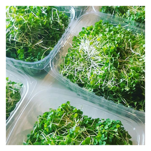 Microgreen - Arugula - Fresh Village Farms