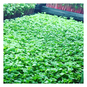 Microgreen - Bok Choy - Fresh Village Farms