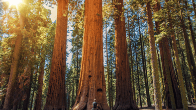 Giant Sequoias at Sequoia and. Kings Canyon Parks