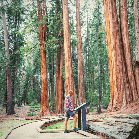 Giant Sequoia Grove at Sequoia and Kings Canyon Parks