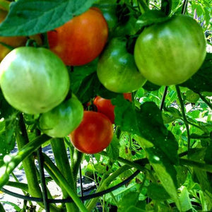 Fourth of July Tomato  Plant