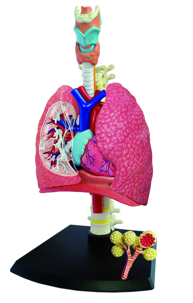 4d Human Anatomy Respiratory System Model Prodigy Playhouse