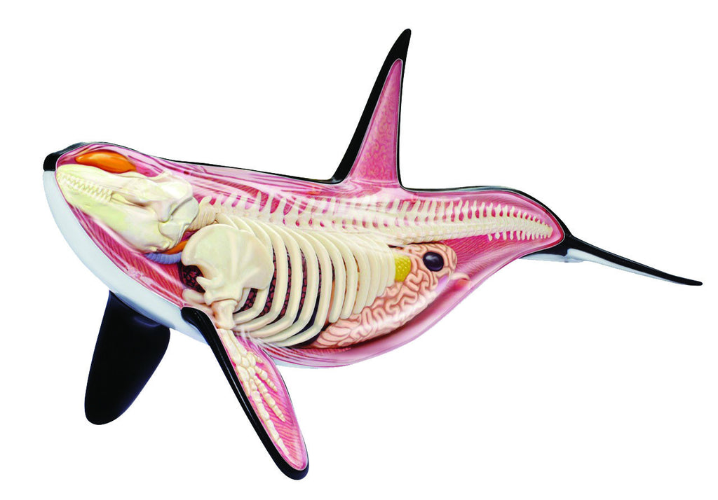 4D Vision Orca Anatomy Model – Prodigy Playhouse