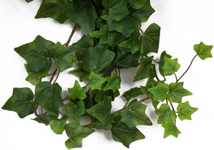 Ivy - Oxford Hedera premium bush