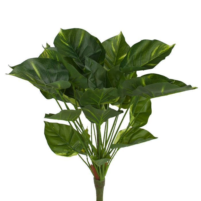 Philodendron Bushes - 50cm - Box Lot Deal (6)