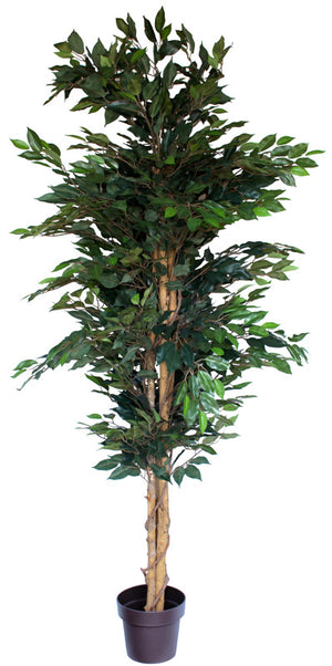 Tree - Ficus Green 200cm Box Lot Deal