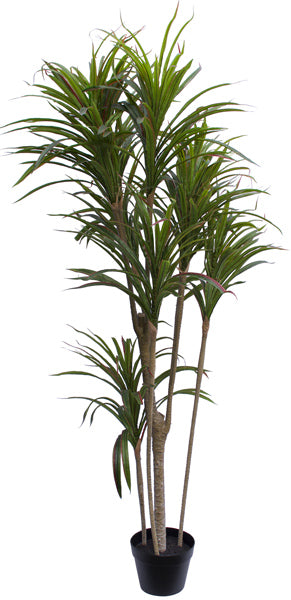 Dracaena Tree - Green Red - 150cm