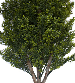 Buxus Topiary - 150cm - Box Lot Deal of Two Trees