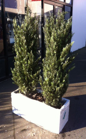 Confier Cypress Tree - 150cm - Box Lot Deal (2)