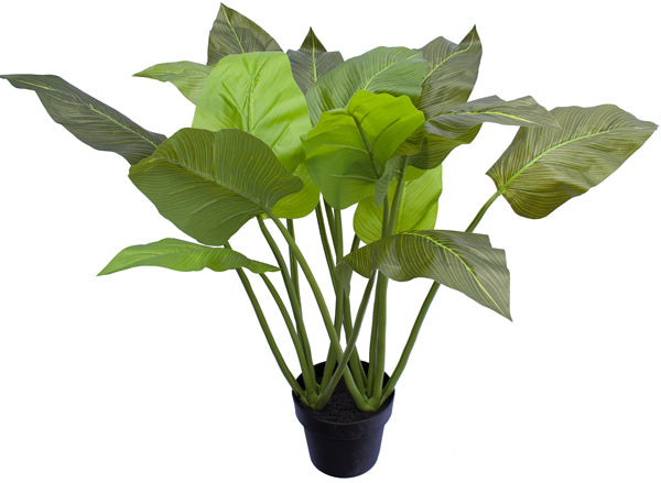 Philodendrons - 80cm - Box Lot Deal