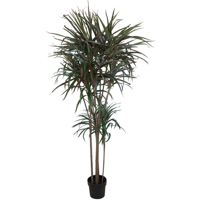 Dracaena Palm - 2.0mtr - Box Lot Deal (2)