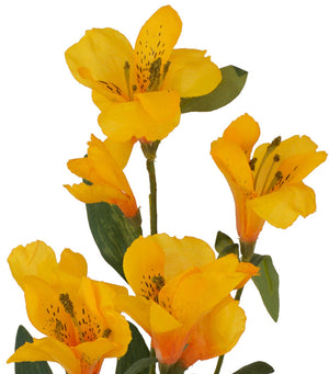 Alstromeria Spray (Peruvian Lilly) - Burnt Yellow