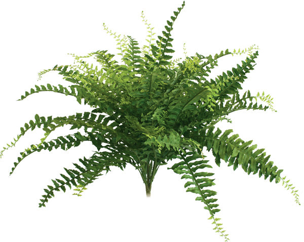 Boston Fern - Large