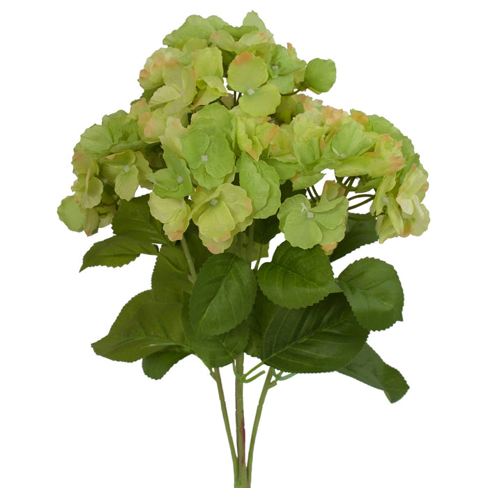 Hydrangea bush - Cambridge variety - Green
