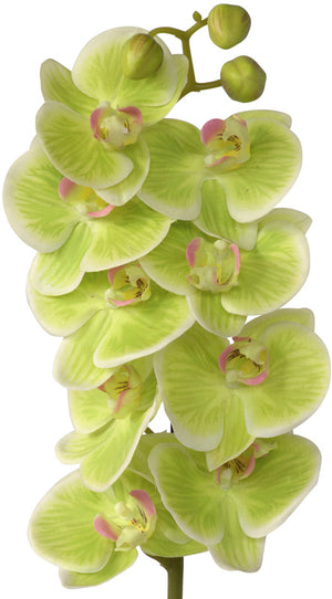 Orchid Potted - Natural Lime Green colour