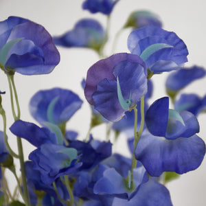 Sweet Pea Flowers - Blue First Lady