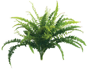 Boston Fern - Small