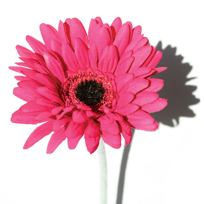 Gerbera - Hot Pink  - Box Lot Deal