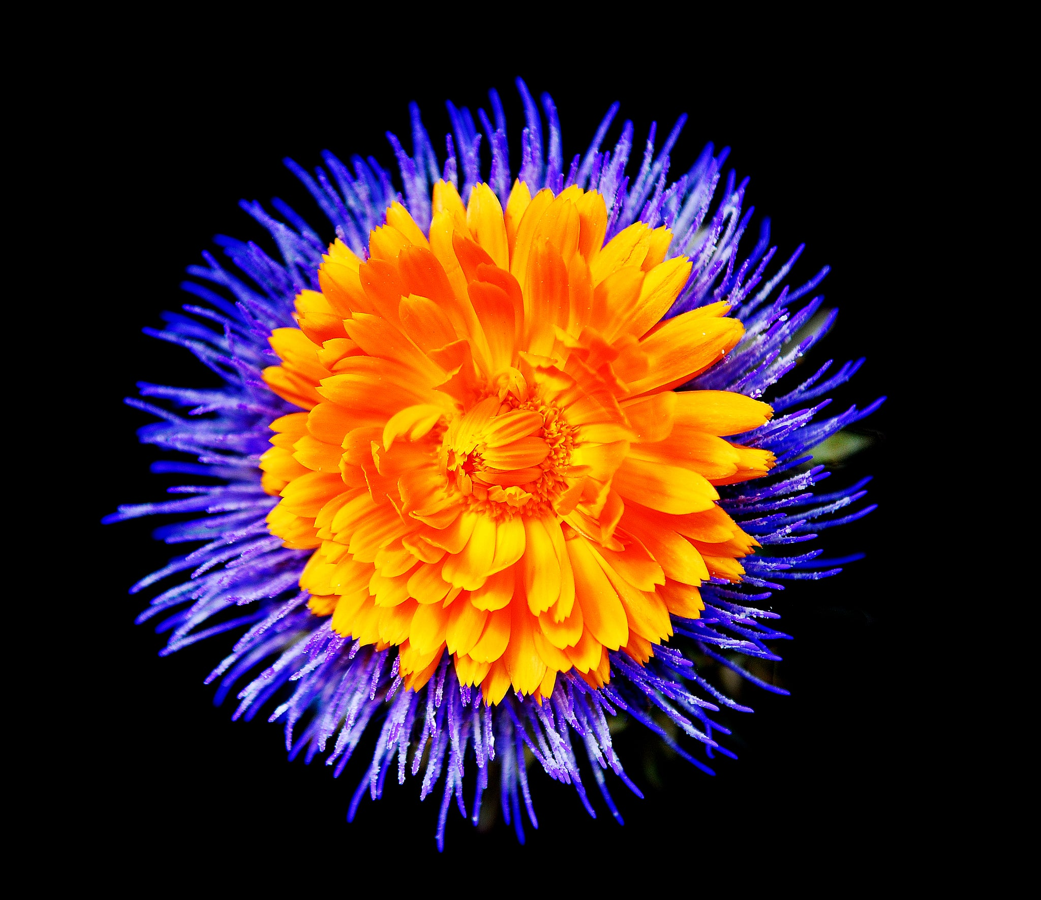 Artichoke Blue and Orange Flower