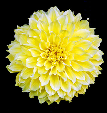 Portrait of a Perfect Yellow Dahlia