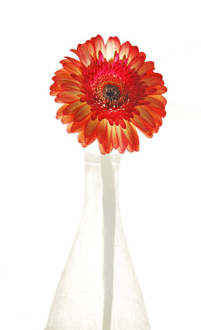 Gerbera Flower inside a Jug of Light