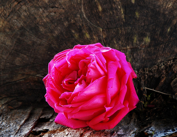 Large Red Rose Resting on a Tree Trunk