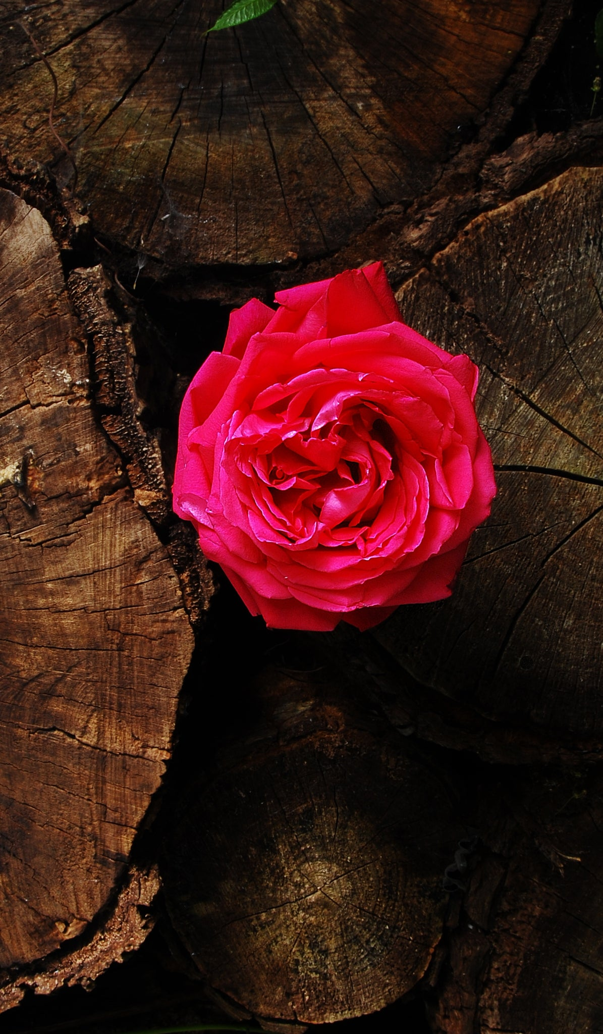 Red Rose between Logs of Wood