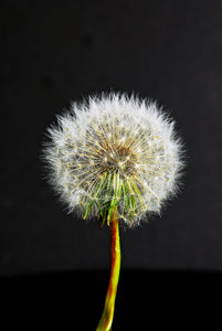 Portrait of an Untouched Dandelion Flower