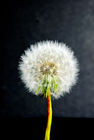Portrait of a Perfect Hairy Dandelion Flower