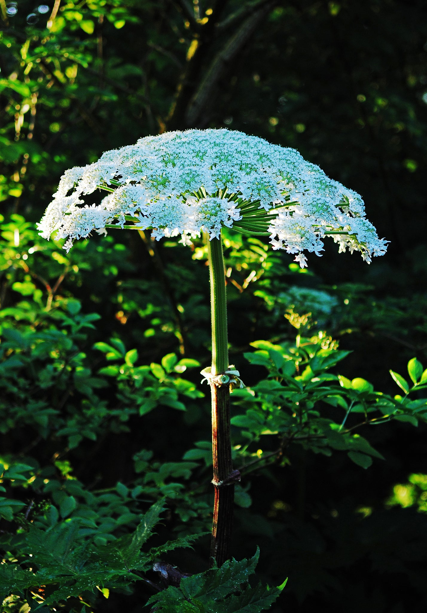 Giant Hogweed like a Natural Umbrella