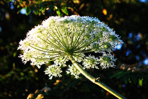 Giant Hogweed-Queen Anne's Lace Plant