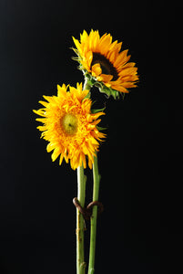 Marriage of Two Bright sunflowers