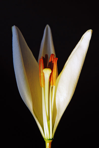 Portrait of the Magic Interior of a White Lily Flower