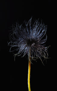 Portrait of a Disheveled Black Flower