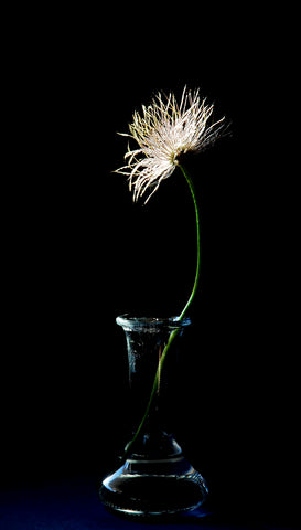 Portrait of Clematis Seed Head Flower against a Black Background