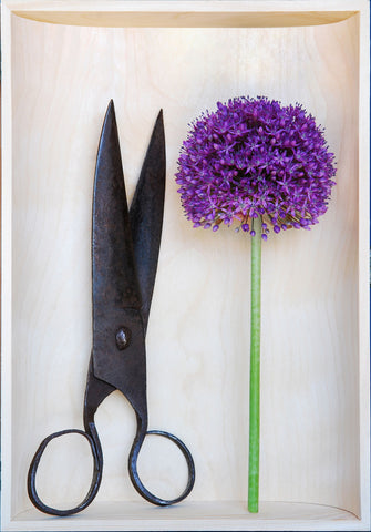 Giant Allium Flower in a Wooden Box with Large Scissors.