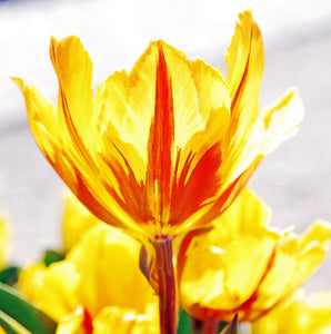 Back of a Yellow Tulip Painted with Sunlight Only