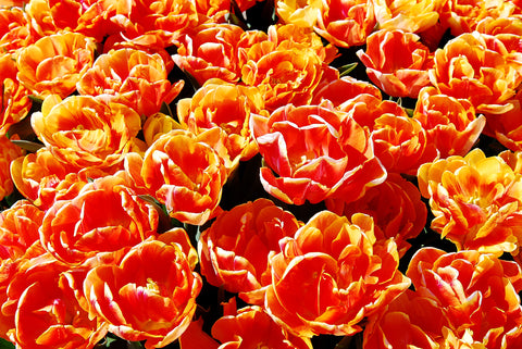 A sea of orange Dutch Tulips