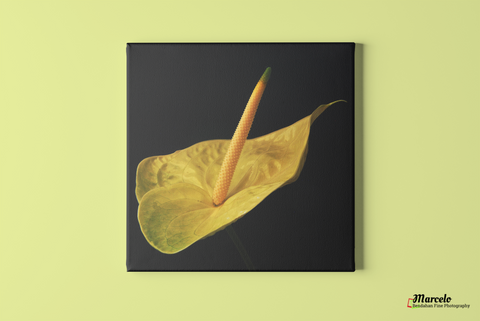 Anthurium Yellow Flower in the Shadow